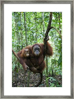 Sumatran Orangutan And Her 2.5 Year Old Framed Print