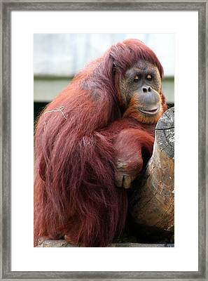 Sumatran Orangutan Framed Print by Laurel Talabere
