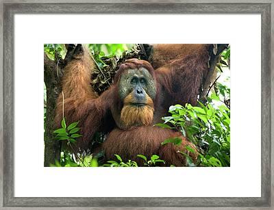 Sumatran Orangutan Pongo Abelii Framed Print