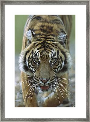 Sumatran Tiger Panthera Tigris Sumatrae Framed Print by Zssd