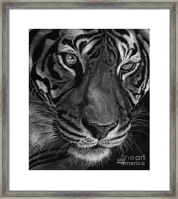 Sumatran Tiger Framed Print by Sheryl Unwin
