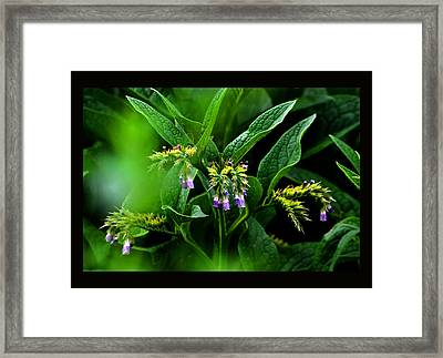 Framed Print featuring the photograph Summer Comfrey Blooms by Susanne Still