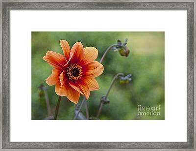 Summer Dahlia Framed Print