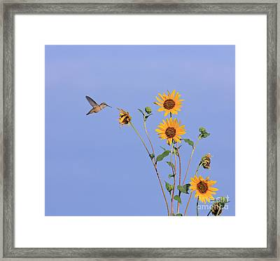 Summer Day Hummingbird Framed Print