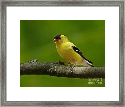 Summer Joy - Male Gold Finch Framed Print by Inspired Nature Photography Fine Art Photography