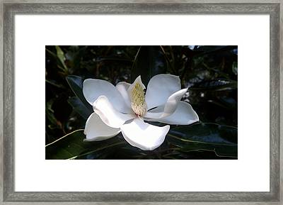 Summer Magnolia Framed Print by Jeannette Brown