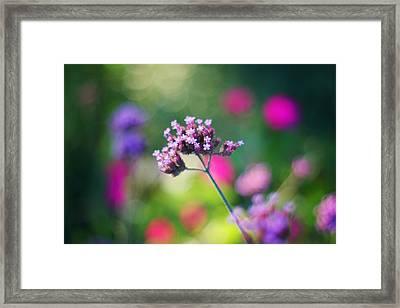 Summer Verbena Framed Print by Amy Tyler