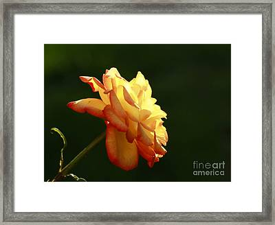 Summers Glow- Elegant Rose Framed Print by Inspired Nature Photography Fine Art Photography
