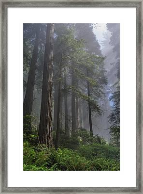 Sun Breaking On Redwoods Framed Print