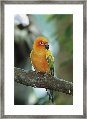 Sun Conure Parrot, Captive Framed Print by George Grall