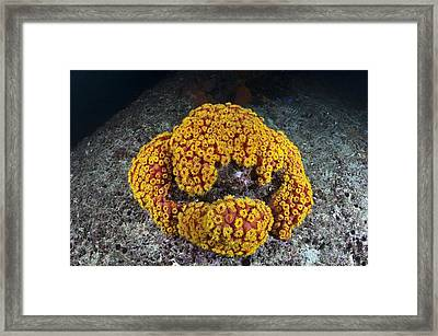 Sun Coral Framed Print by Matthew Oldfield