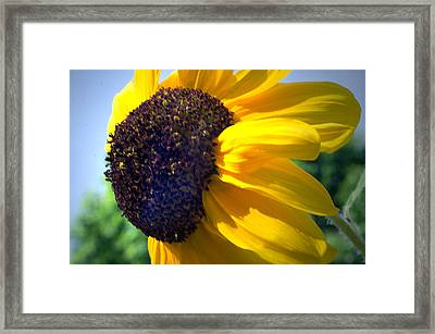Sun Flower Framed Print by Cheryl Cencich