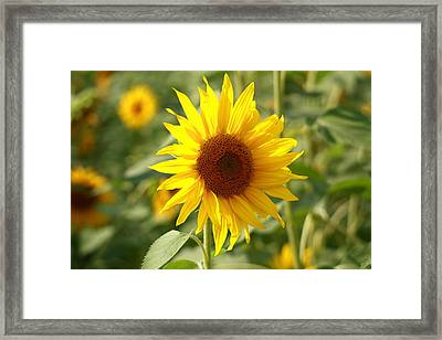 Sun Flower Framed Print by Coby Cooper