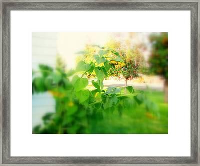 Sun Flowers Leaning Downward Framed Print by Amy Bradley
