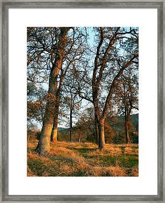Sun Kissed Oaks Framed Print by Pamela Patch