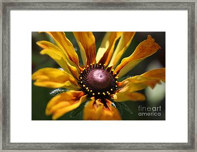 Sun On Flower Framed Print by David Taylor