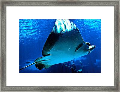 Sun Rays On A Stingray Framed Print by DigiArt Diaries by Vicky B Fuller