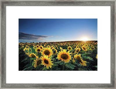Sun Setting Over Sunflower Field Framed Print