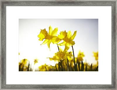 Sun Shining Behind Yellow Daffodils Framed Print by Ron Bambridge