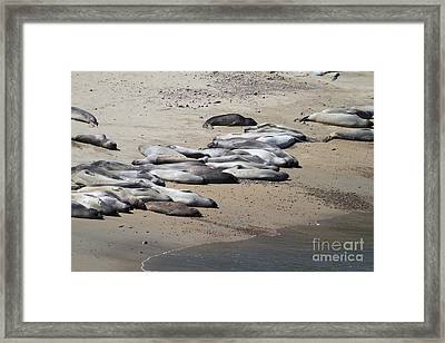 Sunbathing Elephant Seals Along A Beach At Point Reyes California . 7d16063 Framed Print by Wingsdomain Art and Photography