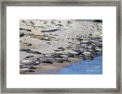 Sunbathing Elephant Seals Along A Beach At Point Reyes California . 7d16065 Framed Print