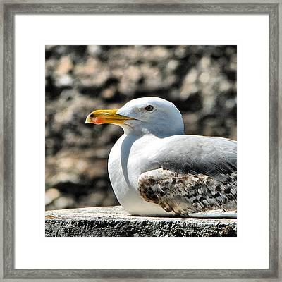 Sunbathing Gull Framed Print