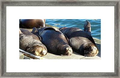 Framed Print featuring the photograph Sunbathing Sea Lions by Chalet Roome-Rigdon