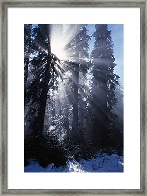 Sunbeams Through Pine Trees Framed Print by Natural Selection Craig Tuttle