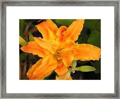 Sunburst Lilly Framed Print by Andrea Drake