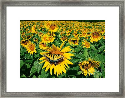 Sunday Afternoon Framed Print by Gina Signore