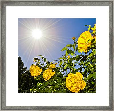 Sunflare And Yellow Roses Framed Print by Amber Flowers