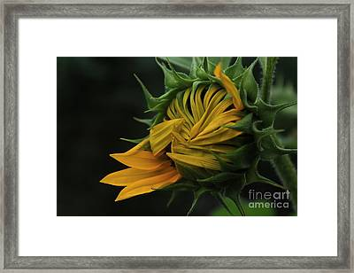 Sunflower 2012 Framed Print by Marjorie Imbeau