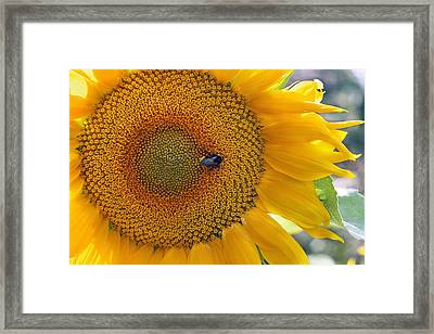 Sunflower And A Bumblebee Framed Print by Aleksandr Volkov