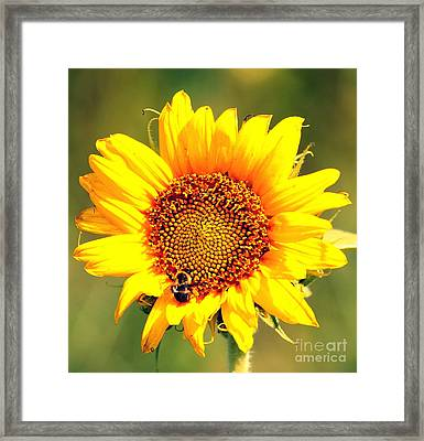 Sunflower And Bee Framed Print