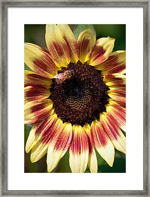 Framed Print featuring the photograph Sunflower by Anna Rumiantseva