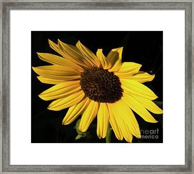 Sunflower At Dusk Framed Print