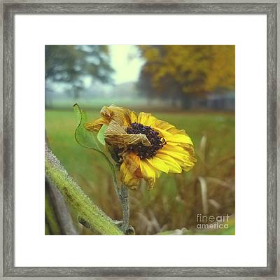 Sunflower At Summers End Framed Print by Jeff Breiman