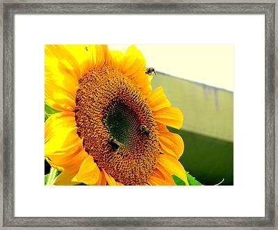 Sunflower Bees Framed Print by Amy Bradley