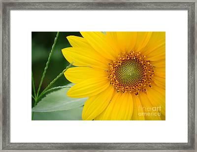 Sunflower Framed Print by Bhavesh Chhatbar