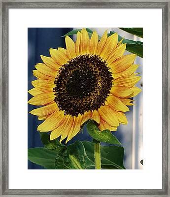 Sunflower Framed Print by Bruce Bley