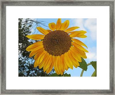 Sunflower Framed Print by Carolyn Reinhart