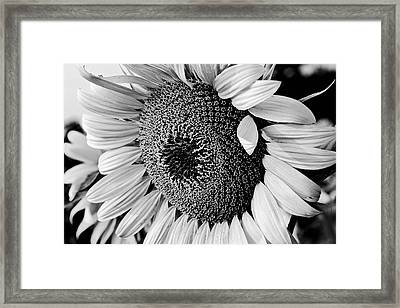 Framed Print featuring the photograph Sunflower by Dan Wells