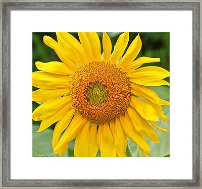 Sunflower Days Framed Print by Ann Murphy