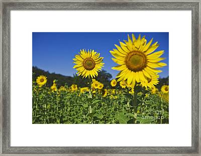 Sunflower Framed Print by Dennis Flaherty and Photo Researchers