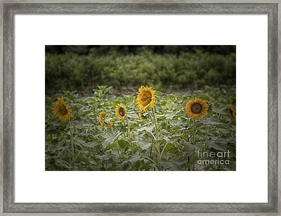 Framed Print featuring the photograph Sunflower Driveby by Vicki DeVico
