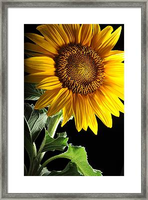 Sunflower Framed Print by Dung Ma