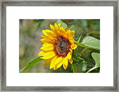 Framed Print featuring the photograph Sunflower by Eve Spring