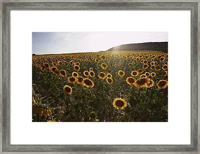 Sunflower Field, Aude, Languedoc-roussillon, France Framed Print