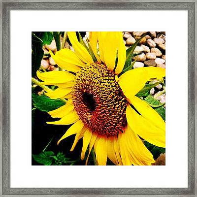 #sunflower #flower #sun #yellow #green Framed Print