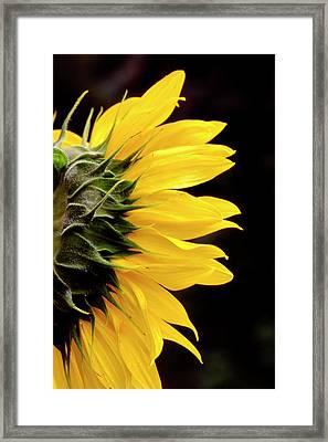 Sunflower From Side Framed Print